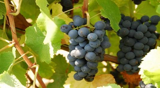 palco-do-vinho-uva-bastardo