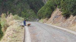 Limpeza do caminho de acesso à Fajã do Araújo
